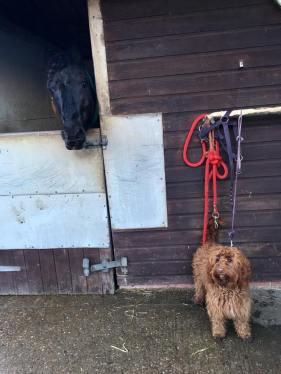 horse, equestrian, dog, cockapoo